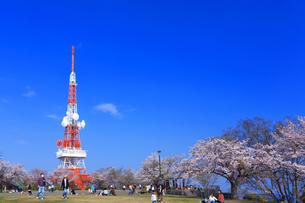神奈川県 湘南平の桜の写真素材 [FYI03007125]
