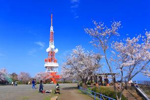 神奈川県 湘南平の桜の写真素材 [FYI03007126]