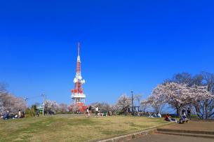 神奈川県 湘南平の桜の写真素材 [FYI03007129]