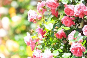 生田緑地 ばら苑の写真素材 [FYI03007136]