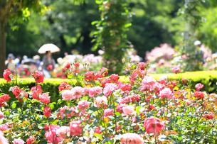 生田緑地 ばら苑の写真素材 [FYI03007139]