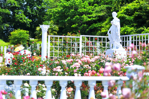 生田緑地 ばら苑の写真素材 [FYI03007142]
