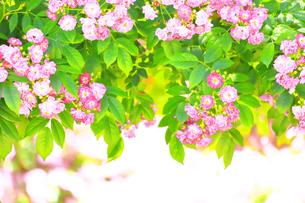 生田緑地 ばら苑の写真素材 [FYI03007145]