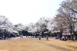 神奈川県 生田緑地の桜の写真素材 [FYI03007318]