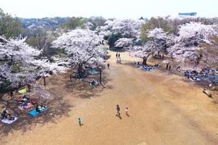 神奈川県 生田緑地の桜の写真素材 [FYI03007321]