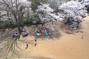 神奈川県 生田緑地の桜の写真素材 [FYI03007325]
