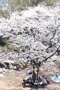 生田緑地の桜の写真素材 [FYI03007331]