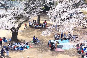 生田緑地の桜の写真素材 [FYI03007334]