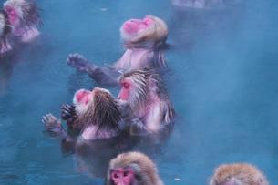 函館市熱帯植物園のニホンザルの写真素材 [FYI03007839]