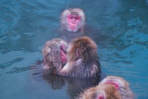 函館市熱帯植物園のニホンザルの写真素材 [FYI03007840]