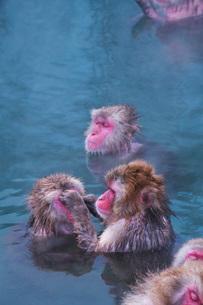 函館市熱帯植物園のニホンザルの写真素材 [FYI03007841]