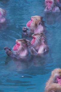 函館市熱帯植物園のニホンザルの写真素材 [FYI03007842]
