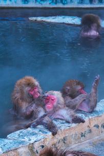 函館市熱帯植物園のニホンザルの写真素材 [FYI03007845]