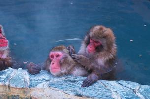 函館市熱帯植物園のニホンザルの写真素材 [FYI03007849]