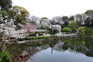 戸越公園 桜の写真素材 [FYI03007917]