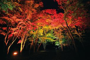 秋の香雪園ライトアップの写真素材 [FYI03008096]