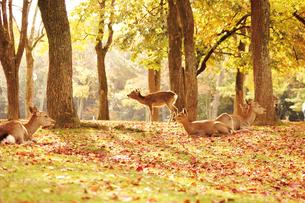 秋の奈良公園と鹿の写真素材 [FYI03008132]