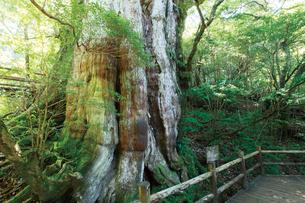 森林の中の紀元杉の写真素材 [FYI03008242]