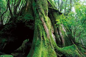 屋久島の三代杉の写真素材 [FYI03008259]