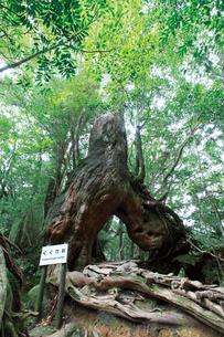 白谷雲水峡のくぐり杉の写真素材 [FYI03008272]