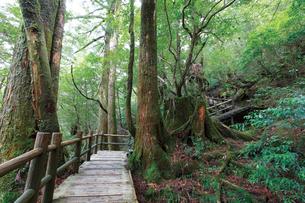ヤクスギランドの高架木道の写真素材 [FYI03008273]