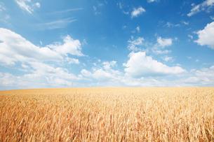 美瑛町の麦畑の写真素材 [FYI03008313]