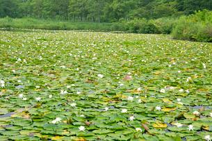 睡蓮咲くいもり池の写真素材 [FYI03008350]