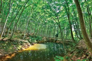 緑映える美人林の写真素材 [FYI03008438]