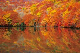 沼に映る蔦沼の紅葉の写真素材 [FYI03008822]