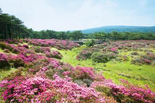 ミヤマキリシマ咲くえびの高原の写真素材 [FYI03008903]