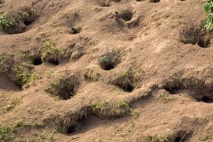 天売島のウトウの巣穴の写真素材 [FYI03009708]