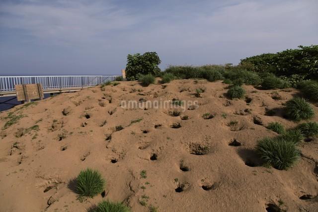 天売島のウトウの巣穴の写真素材 [FYI03009715]