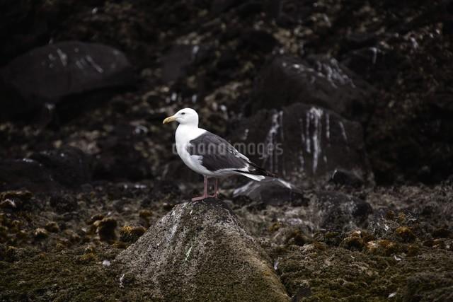 天売島のカモメの写真素材 [FYI03009716]