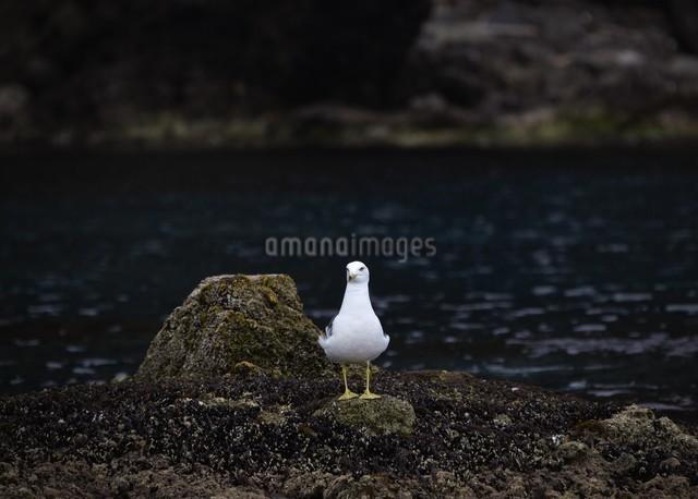 天売島のカモメの写真素材 [FYI03009717]