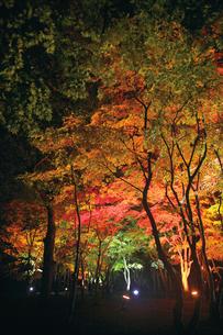 ライトアップされた紅葉の香雪園の写真素材 [FYI03010013]