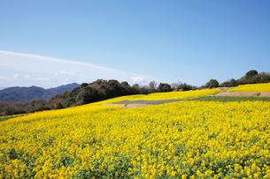 菜の花咲く春のあわじ花さじきの写真素材 [FYI03010563]
