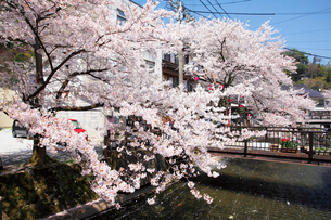 桜咲く城崎温泉,大谿川の写真素材 [FYI03010670]