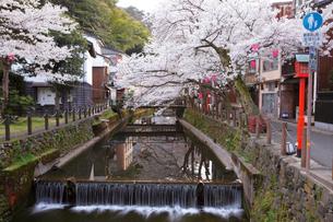 桜咲く城崎温泉,大谿川の写真素材 [FYI03010674]