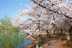 芦野公園の桜の写真素材 [FYI03010747]
