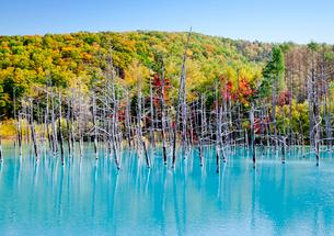 紅葉の青い池の写真素材 [FYI03010777]