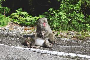 屋久島のヤクザルの写真素材 [FYI03010899]