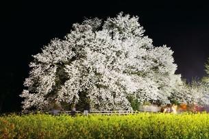 夜の一心行の大桜の写真素材 [FYI03010934]