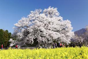 満開の一心行の大桜の写真素材 [FYI03010947]
