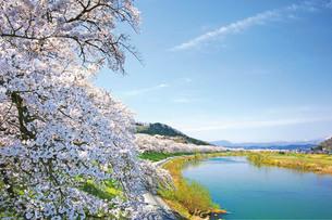 白石川堤一目千本桜の写真素材 [FYI03011250]