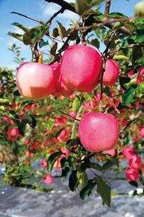りんご園の写真素材 [FYI03011675]