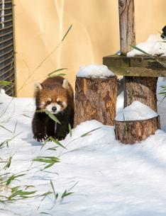 旭山動物園,レッサーパンダの写真素材 [FYI03011971]