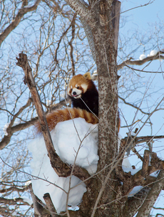 旭山動物園,レッサーパンダの写真素材 [FYI03011977]
