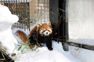旭山動物園,レッサーパンダの写真素材 [FYI03011978]