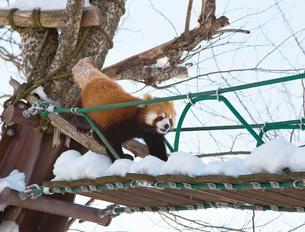 旭山動物園,レッサーパンダの写真素材 [FYI03011980]
