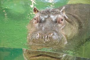 旭山動物園,カバの写真素材 [FYI03011984]